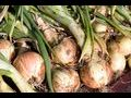 onion sets